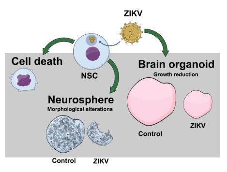 Um dos gráficos mais famosos sobre a relação do vírus Zika e a microcefalia circulando pela web é do Mind the Graph