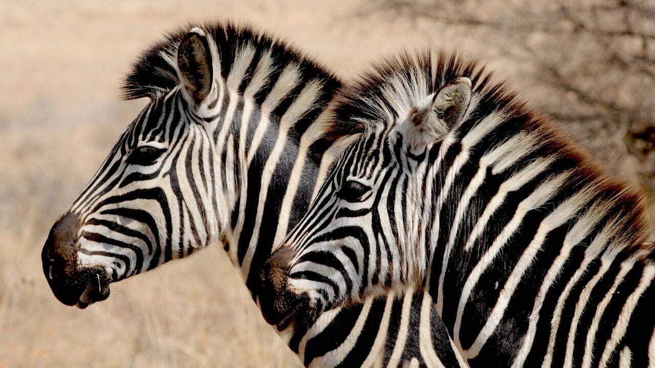 Com zebras e unicórnios coexistindo, o ecossistema empreendedor só tem a ganhar (Imagem: Pixabay/Reprodução).