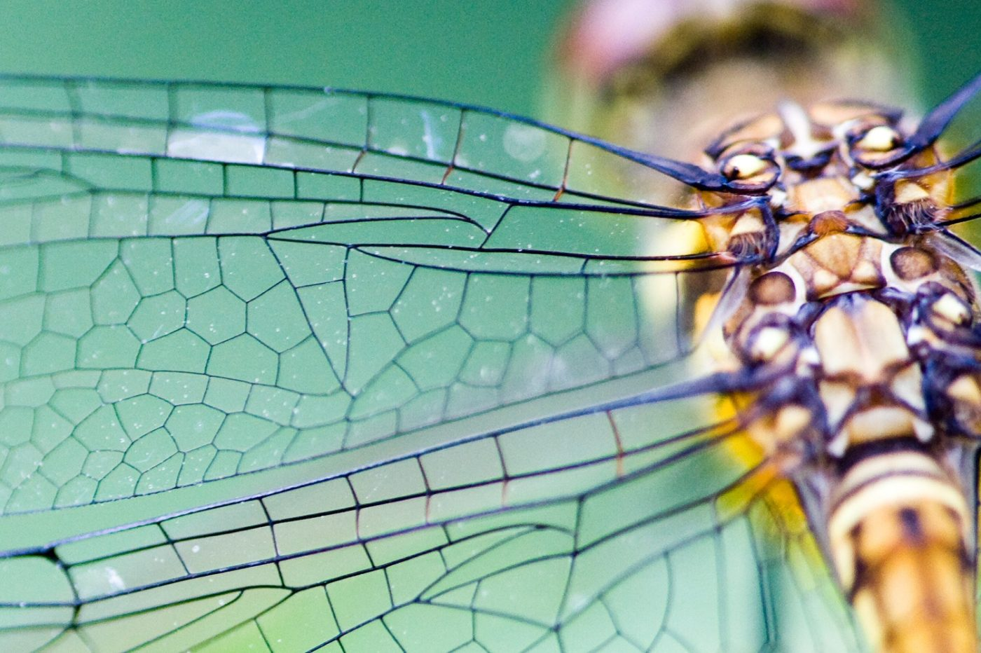 A libélula é um exemplo da aplicação da Biomimética. Seu movimento inspirou o estudo de micro veículos aéreos não tripulados.