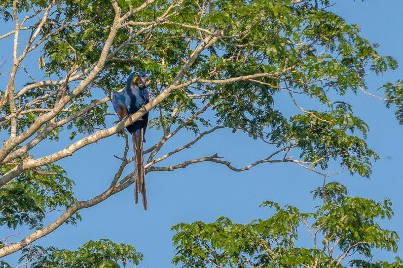 Arara Azul no Refúgio Ecológico Caiman, no Pantanal